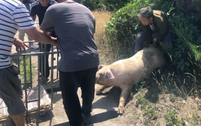 30头猪大闹郑州绕城高速 3人受伤 车辆排队5公里插图12