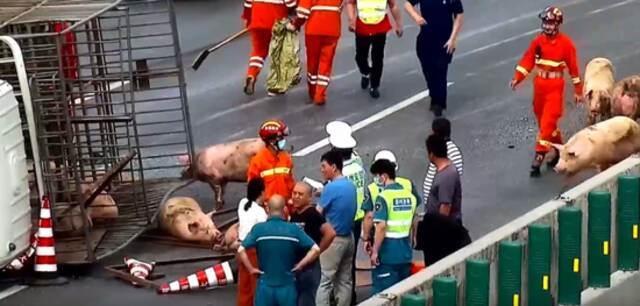 30头猪大闹郑州绕城高速 3人受伤 车辆排队5公里插图2
