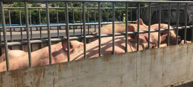30头猪大闹郑州绕城高速 3人受伤 车辆排队5公里插图10